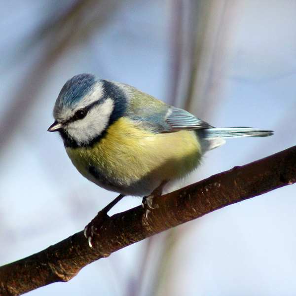 Photo of Blue Tit