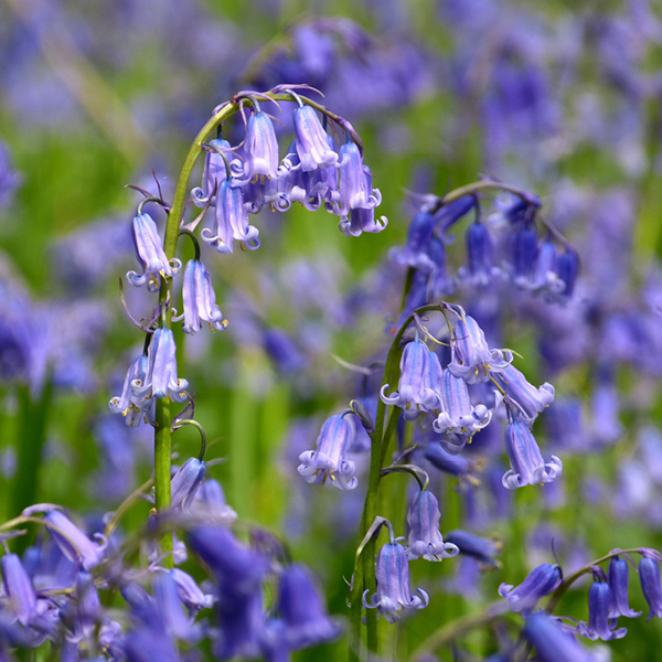 Photo of Common Bluebell