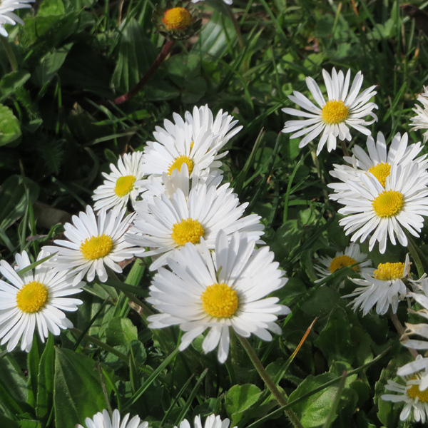 Photo of Common Daisy