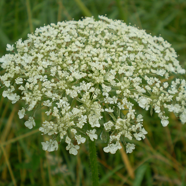 Photo of Cow Parsley