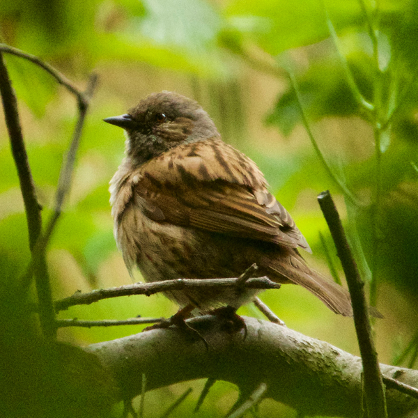 Photo of Dunnock