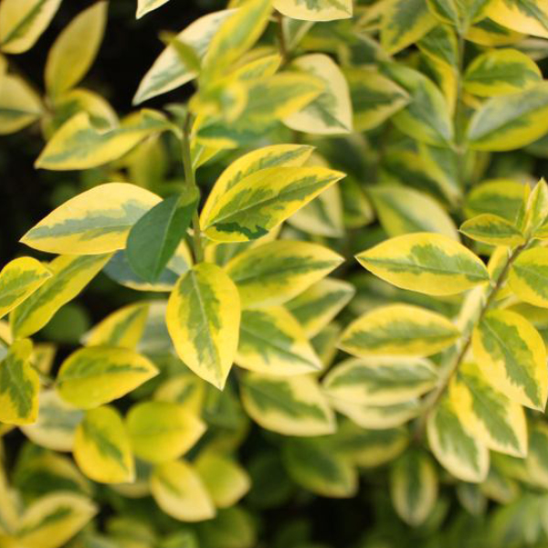 Photo of Golden Privet