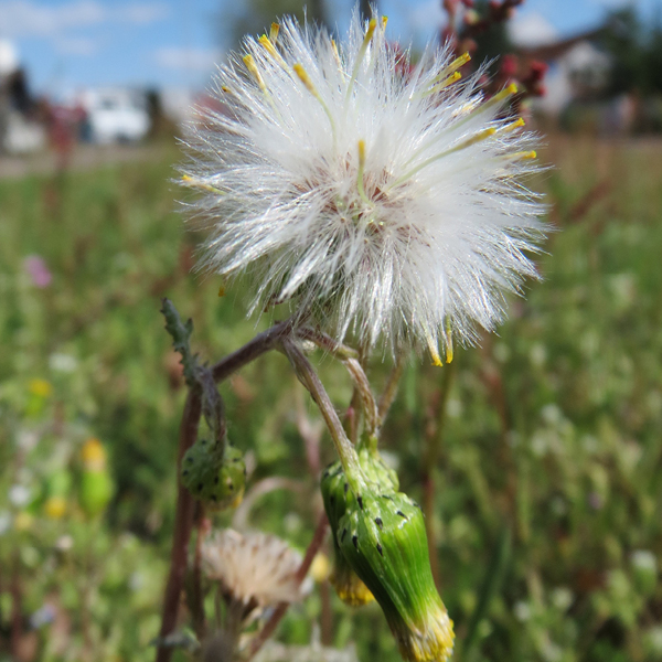 Photo of Groundsel