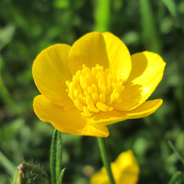Photo of Meadow Buttercup