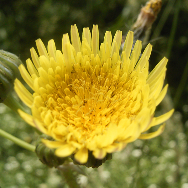 Photo of Prickly Sow-Thistle