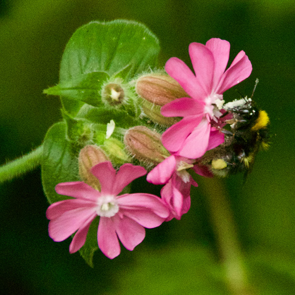 Photo of Red Campion
