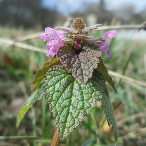 Photo of Red Dead-nettle