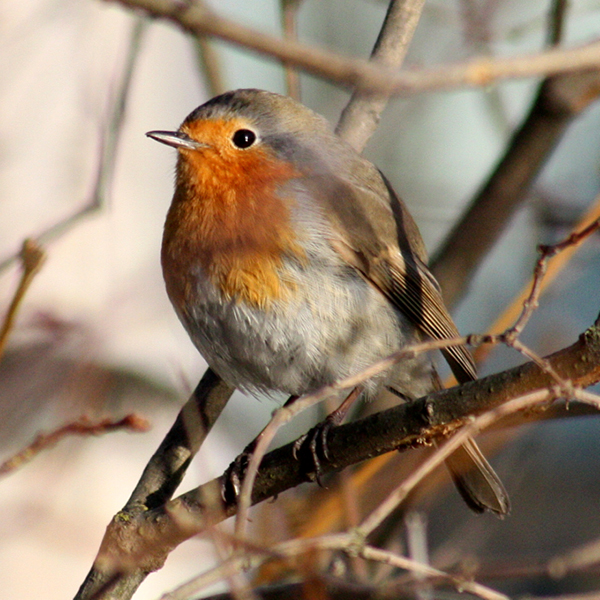 Photo of Robin