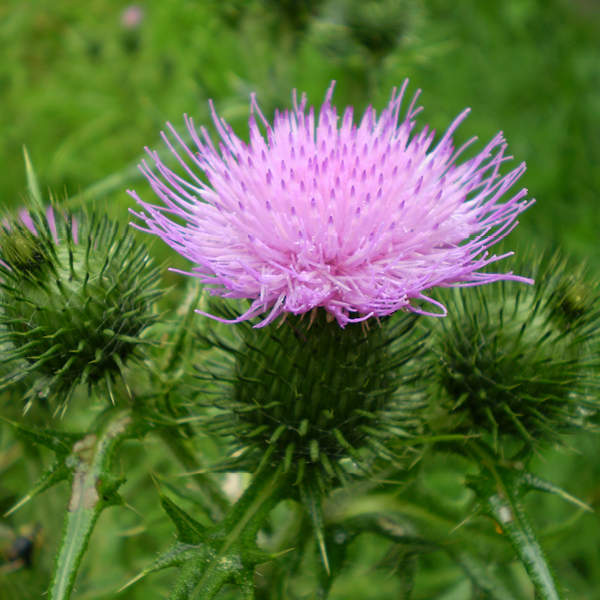 Photo of Spear Thistle