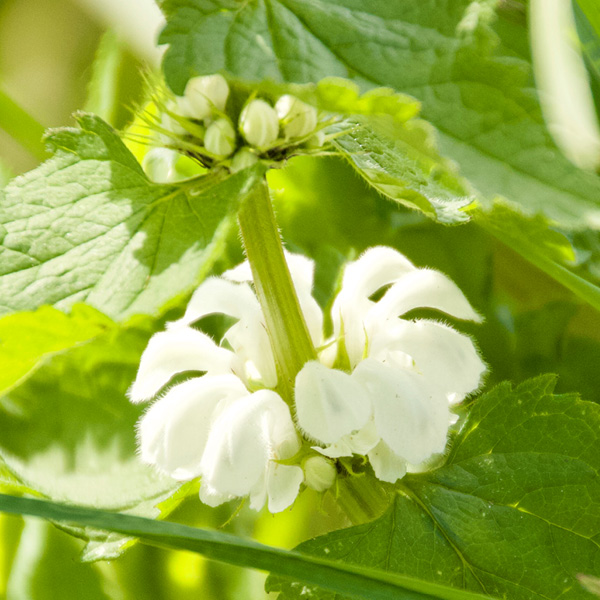 Photo of White Dead-nettle
